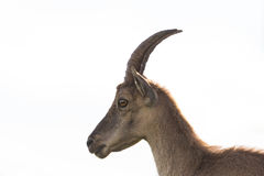 Side view portrait of female alpine ibex capricorn, white backgr Royalty Free Stock Image