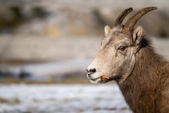 Side view portrait of a female ewe bighorn sheep eating grass, looking at camera. Copyspace available. Right aligned royalty free stock photo