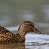 Side view portrait of female mallard (Anas platyrhynchos) Royalty Free Stock Photography