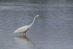 Side view portrait great white egret egretta alba standing in Royalty Free Stock Image