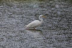 Side view portrait great white egret egretta alba standing in Stock Images