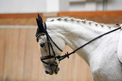 Side view portrait of a grey colored dressage horse during train Stock Photos
