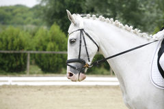 Side view portrait of a grey dressage horse during training Stock Photography