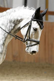 Side view portrait of a grey dressage horse during training indoors Royalty Free Stock Photos