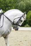 Side view portrait of a grey dressage horse during training outd. Face of a beautiful purebred racehorse on dressage training Royalty Free Stock Images