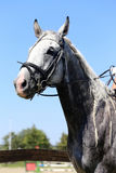 Side view portrait of grey horse with nice braided mane against. Head of a  jumping horse in dressage training Royalty Free Stock Photo