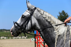 Side view portrait of grey jumping horse with nice braided mane Royalty Free Stock Photography