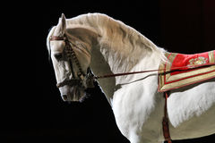 Side view portrait of a grey lipizzaner Stock Photography