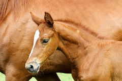 Side view portrait hestnut colored filly with mare Royalty Free Stock Images