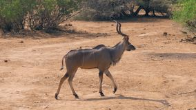 Antelope Kudu Goes On A Desert Dusty Ground Near The Bushes In Africa Savannah. Side view portrait, horned antelope Kudu goes on the African savanna desert, with stock video footage