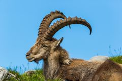Side view lying natural male alpine ibex capricorn, blue sky, me. Side view portrait lying natural male alpine ibex capricorn, blue sky, meadow stock photo