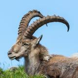 Side view portrait male alpine ibex capricorn. Side view portrait natural male alpine ibex capricorn Royalty Free Stock Image
