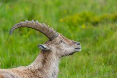 Side view portrait male natural alpine ibex capricorn. Green meadow royalty free stock image