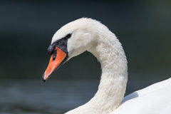 Side view portrait of mute swan (Cygnus olor) Stock Photo