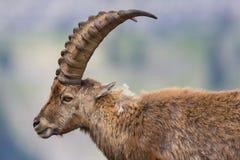 Side view portrait adult alpine capra ibex capricorn. Side view portrait natural adult alpine capra ibex capricorn Royalty Free Stock Image