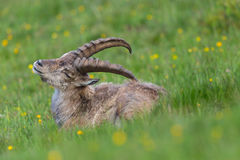 Side view portrait of natural alpine ibex capricorn in meadow. Side view portrait of natural alpine ibex capricorn in grassland stock photography