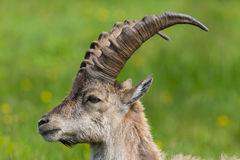 Side view portrait of natural alpine ibex capricorn in meadow. Side view portrait of natural alpine ibex capricorn in green meadow stock image