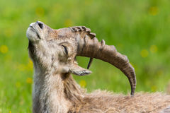 Side view portrait of natural alpine ibex capricorn in meadow. Scratching itself stock photo