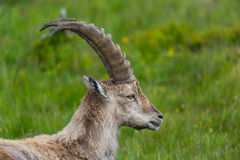 Side view portrait of natural alpine ibex capricorn. Standing in meadow stock photos