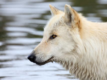 Side view portrait of one blond wolf with water background Stock Photography