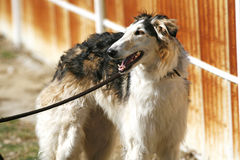 Side view portrait of a purebred russian wolfhound dog Royalty Free Stock Image