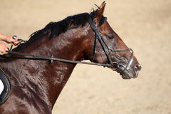 Side view portrait of a running jumping horse Royalty Free Stock Images