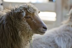 Side View Portrait of a Sheep. A side view portrait of a woolly sheep in a stall royalty free stock photo