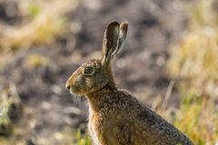 Side view portrait sitting european brown hare jackrabbit lepus. Side view portrait sitting natural european brown hare jackrabbit lepus europaeus Royalty Free Stock Photos