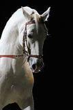 Side view portrait of a thoroughbred lipizzaner horse Royalty Free Stock Photo