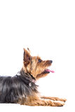 Side view portrait of a Yorkshire terrier Stock Photos