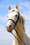 Side view portrait of a young cremello stallion Stock Photo