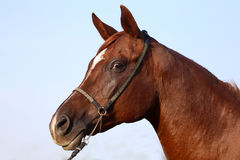 Side view portrait of a young purebred arabian stallion Royalty Free Stock Photography