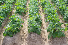 Side view of potato plantation rows and furrows Royalty Free Stock Photo