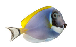 Side view of a Powder blue tang, Acanthurus leucosternon Stock Photography