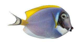 Side view of a Powder blue tang, Acanthurus leucosternon Royalty Free Stock Photo