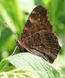 The side view of a pretty Peacock Butterfly Aglais io perching on a leaf. royalty free stock photo