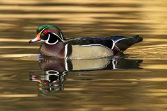 Side view of pretty wood duck. A male wood duck swims in the calm pond at Cannon Hill Park in Spokane, Washington Stock Image