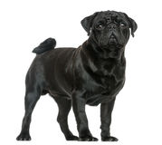 Side view of a Pug standing, isolated Royalty Free Stock Photo