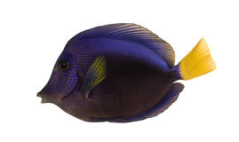 Side view of a Purple tang, Zebrasoma xanthurum Stock Image