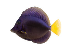Side view of a Purple tang, Zebrasoma xanthurum Royalty Free Stock Photos