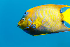 Side view of Queen Angelfish  holacanthus ciliaris. In blue water Royalty Free Stock Images