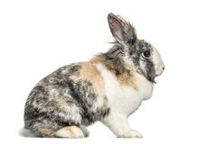 Side view of a rabbit, isolated. On white royalty free stock images