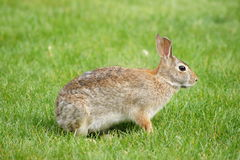 Side View Rabbit Royalty Free Stock Photo