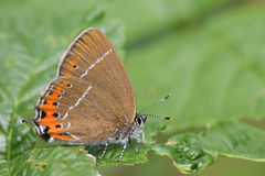 The side view of a rare Black Hairstreak Butterfly, Satyrium pruni, perched on a leaf with its wings closed. Stock Photos