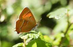 The side view of a rare Brown Hairstreak Thecla betulae perched on a leaf . Royalty Free Stock Photo
