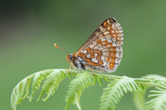 The side view of a rare Marsh Fritillary Butterfly, Euphydryas aurinia, perched on bracken. Stock Photo