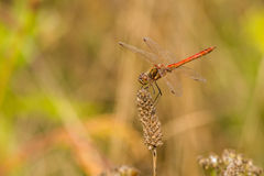 Side view of red dragonfly on perch Stock Photo