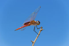 Side View of a Red Dragonfly Perched on a Branch Stock Images