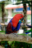 Side view of red Eclectus parrot perched on branch Royalty Free Stock Photos