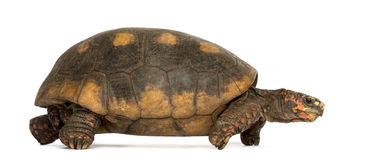 Side view of a Red-footed tortoise walking Royalty Free Stock Photos
